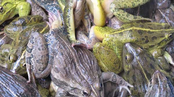 eatingfrog